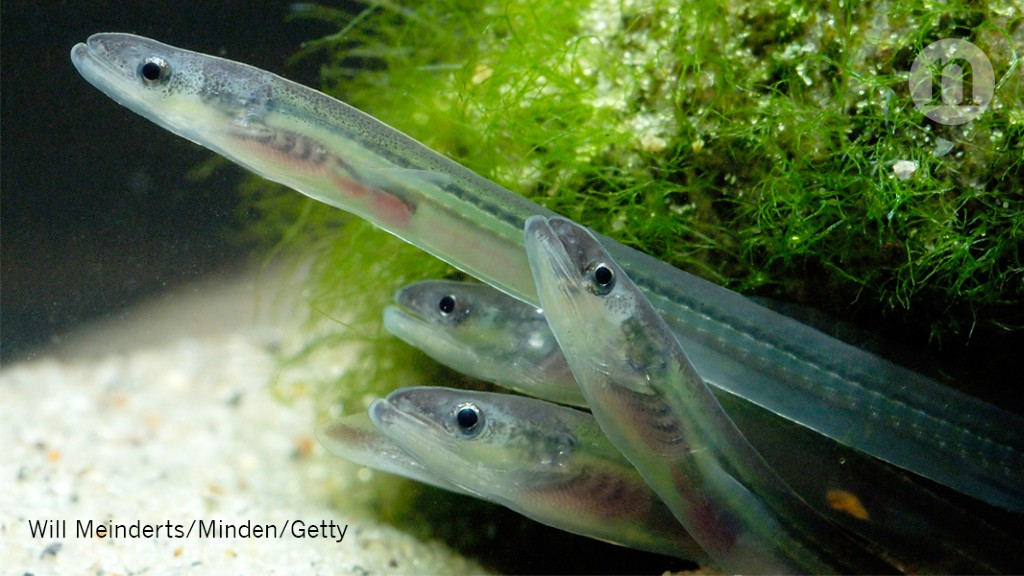 Eels Use Magnetic Maps To Migrate Research Highlights