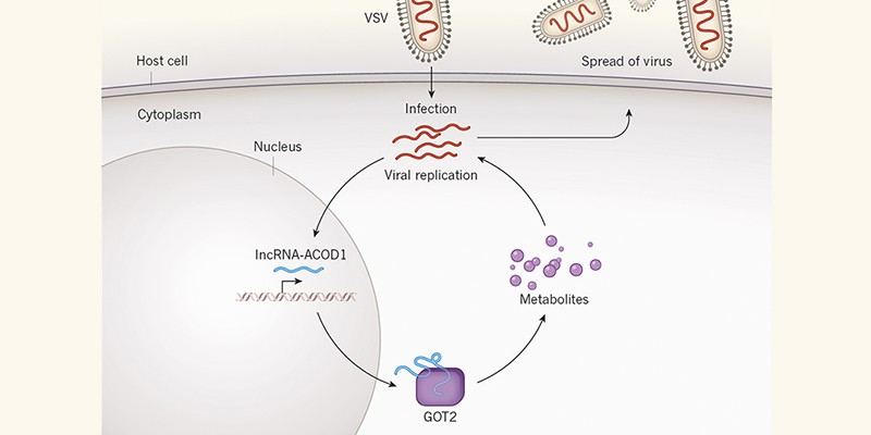 Viruses hijack a long non-coding RNA