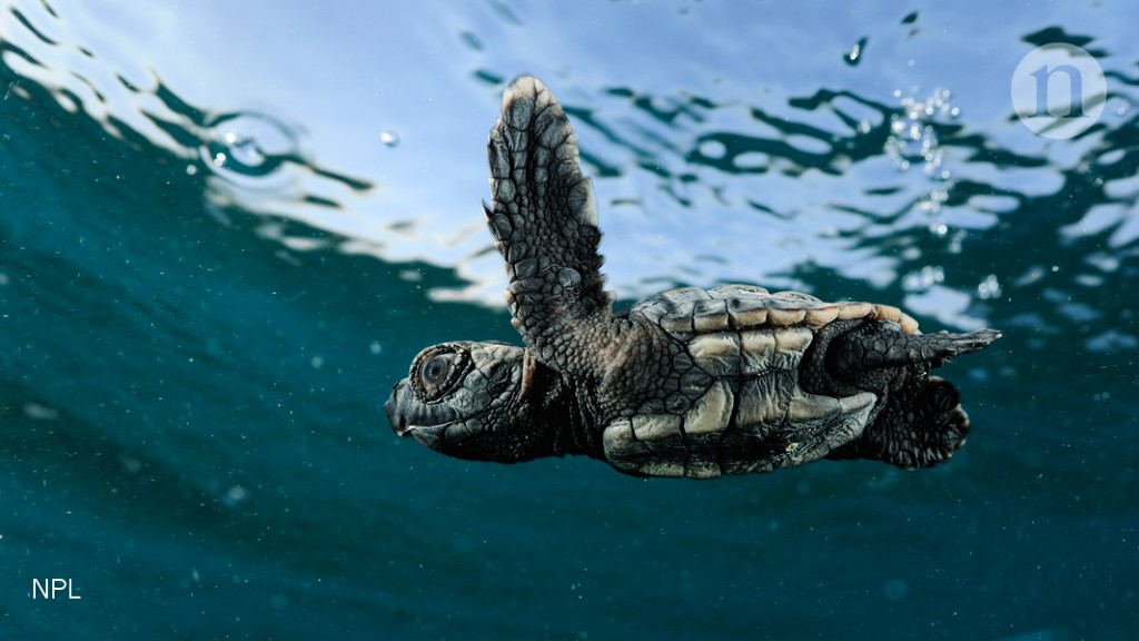 6cf4729aaa Young sea turtles show swimming skills : Research Highlights