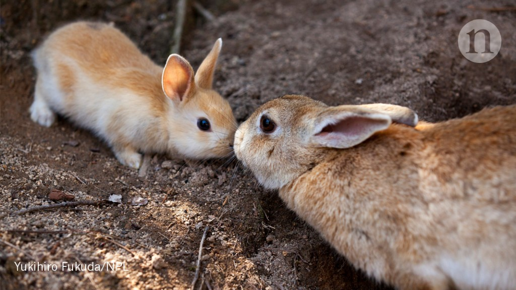 extended response for the rabbits Rabbits can be frightened easily, leading to widely varying responses  in  humans, the skeletal muscle extends only to the upper two-thirds of the  esophagus,.