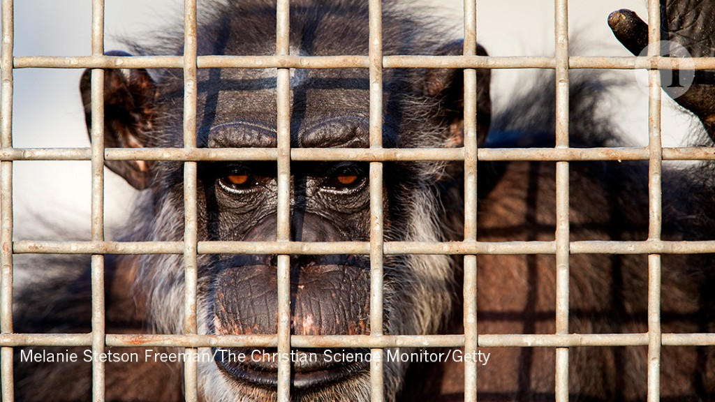 US government rethinks how to retire research chimps