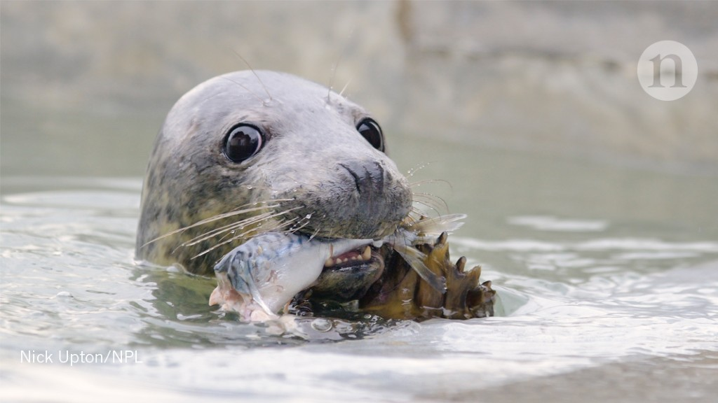Seal poop reveals plastic's path in the sea