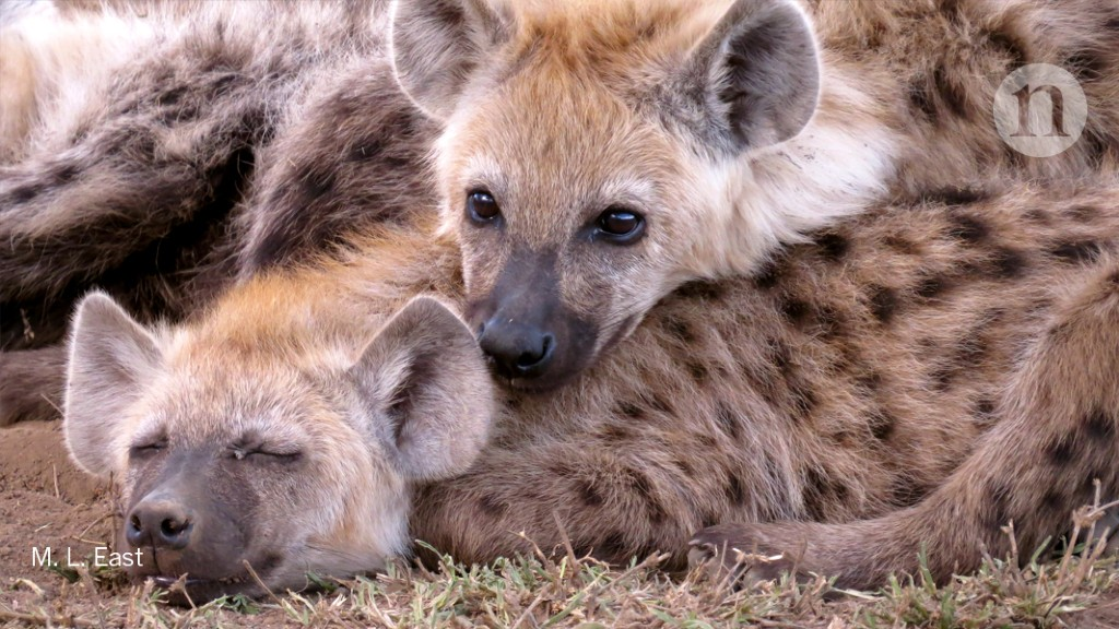 High social status is a blessing and a curse for hyenas