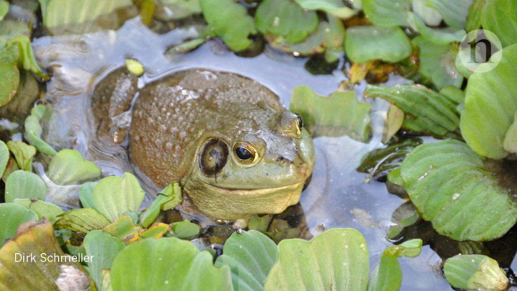 DNA points to a frog-killer's birthplace : Research Highlights