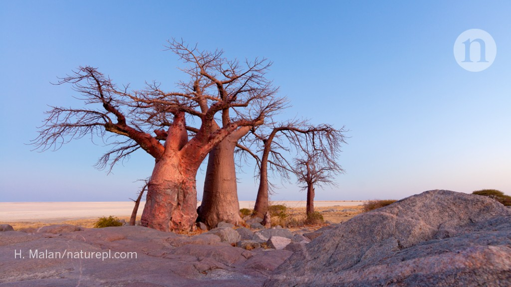 Africa S Majestic Baobab Trees Are Mysteriously Dying
