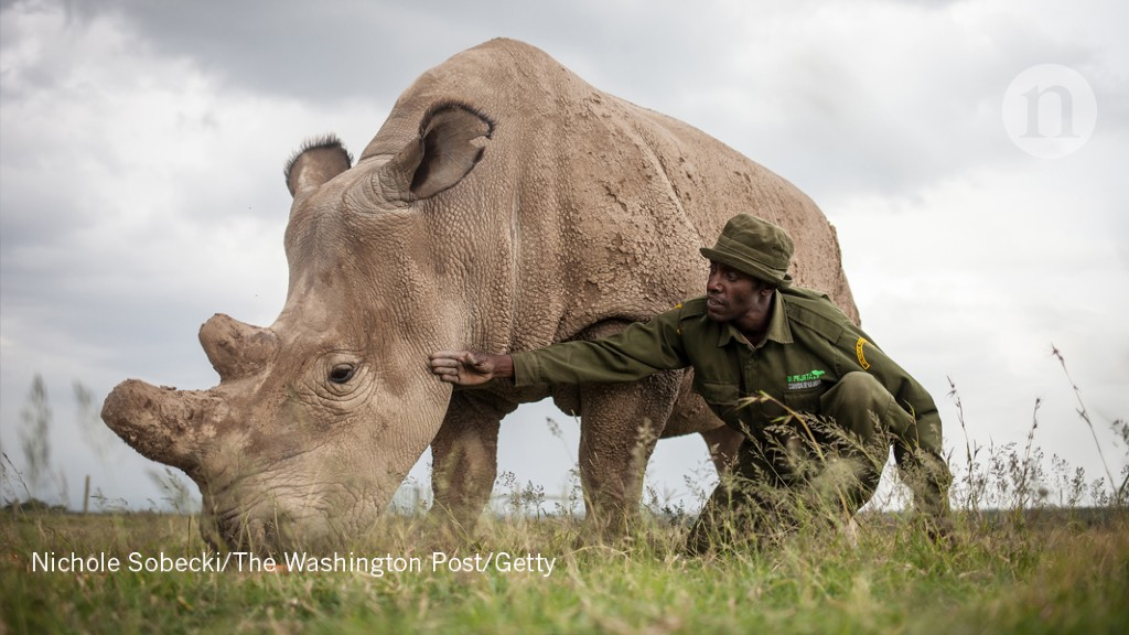 Hybrid white-rhino embryos created in last-ditch effort to stop
