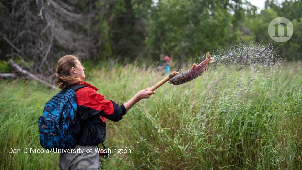 Salmon-hurling scientists enrich an ecosystem