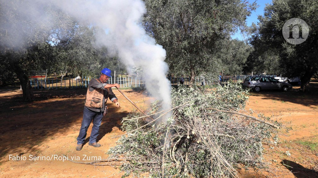Italys Olive Crisis Intensifies As Deadly Tree Disease Spreads