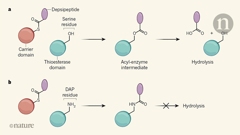 Enzymes engineered to trap reaction intermediates