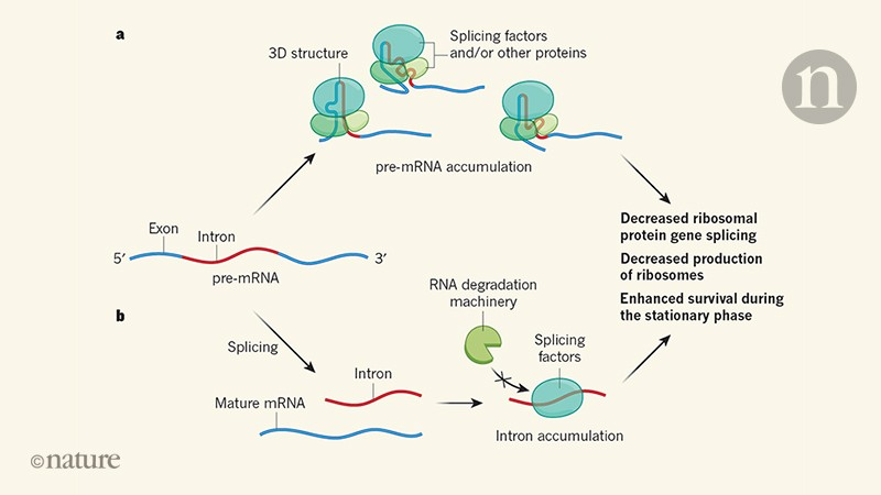Intron RNA sequences help yeast cells to survive starvation