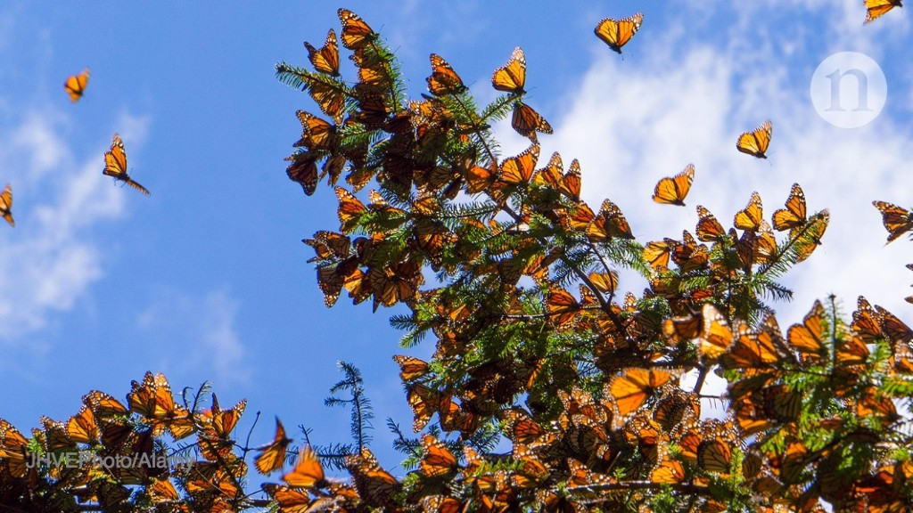 Protecting monarch butterflies' winter home could mean moving hundreds of trees