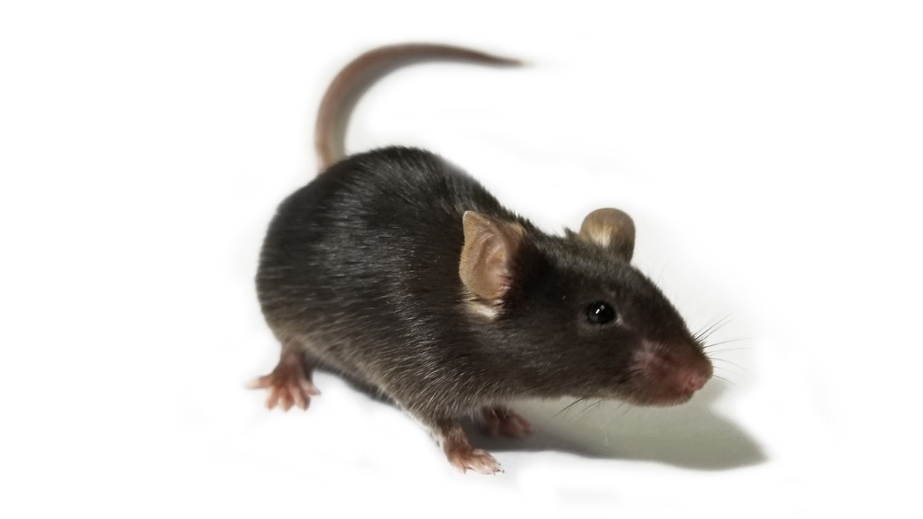 Night-vision 'super-mice' created using light-converting nanoparticles
