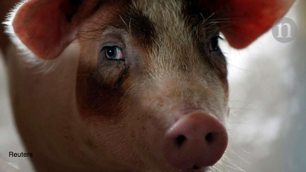 Pig brains kept alive outside body for hours after death