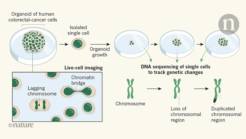 Watching cancer cells evolve through chromosomal instability