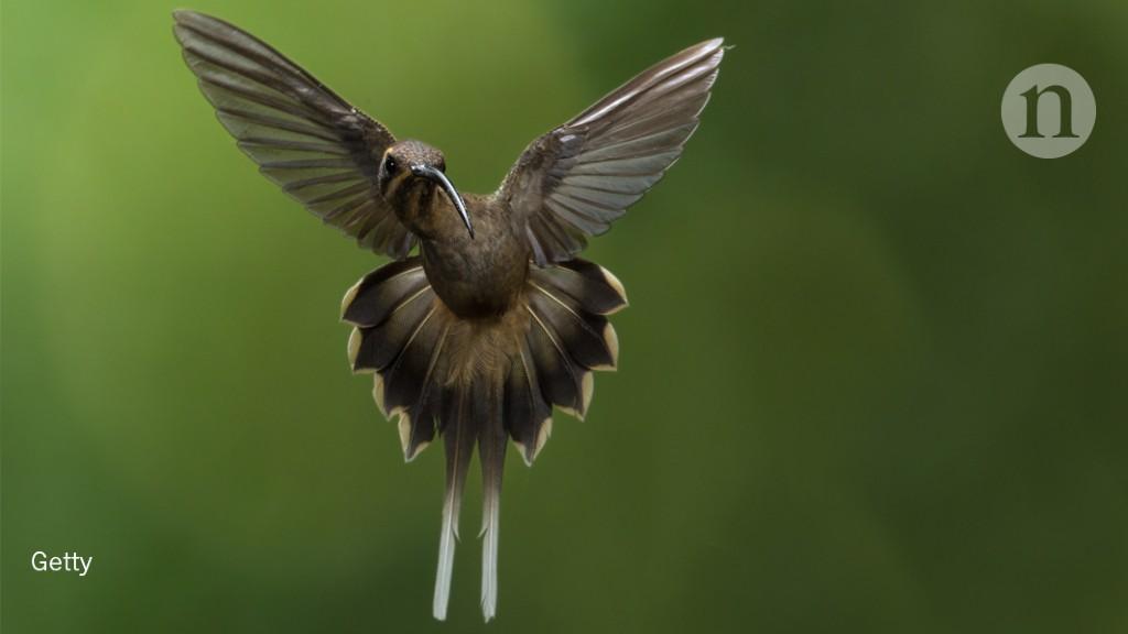 Hummingbirds look and learn