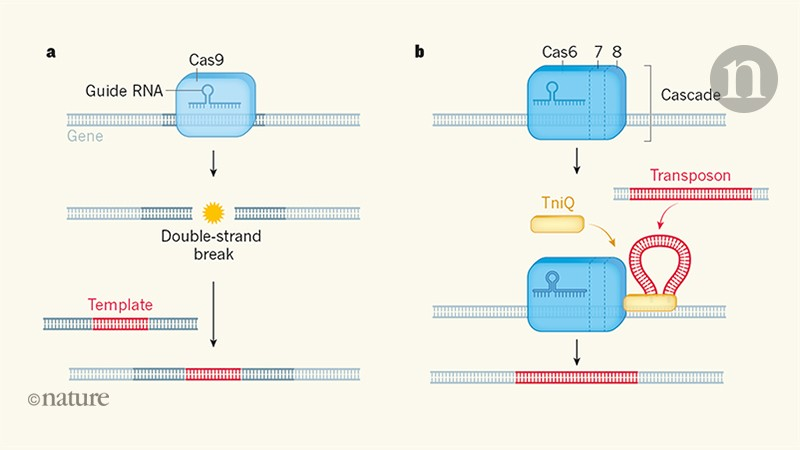 Hijack of CRISPR defences by selfish genes holds clinical promise