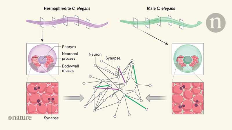 Neural networks mapped in both sexes of the worm
