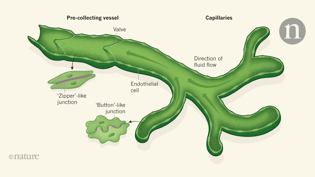 Lymphatic vessels at the base of the mouse brain provide