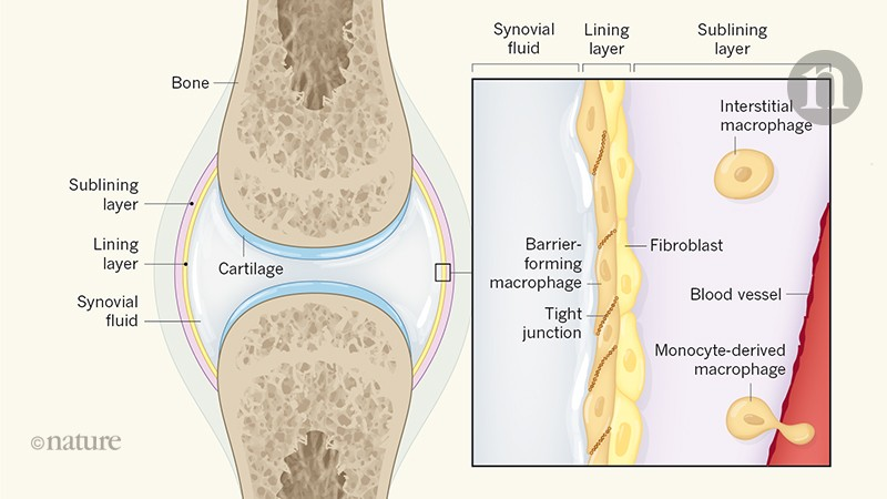 Macrophages form a protective cellular barrier in joints