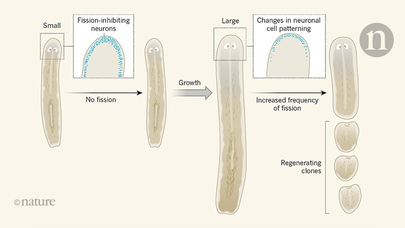 What makes flatworms go to pieces