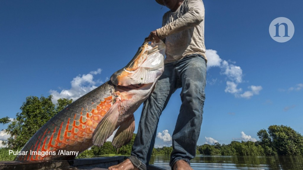 Giant freshwater fishes are in alarming decline