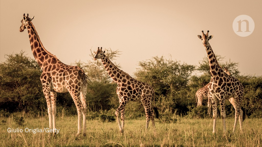 Ancient skull, Amazon fires and giraffe protections