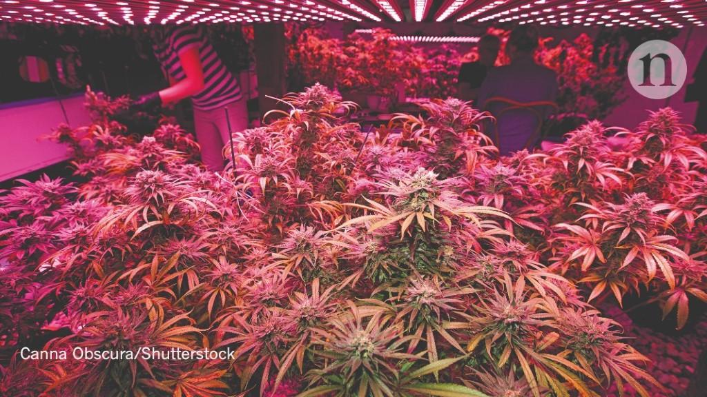 Can cannabis go green?