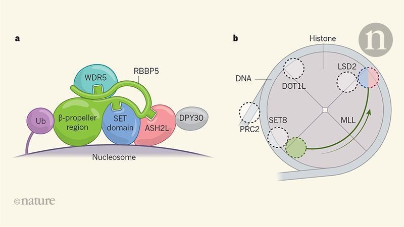 A key to unlocking chromatin revealed by complex structures