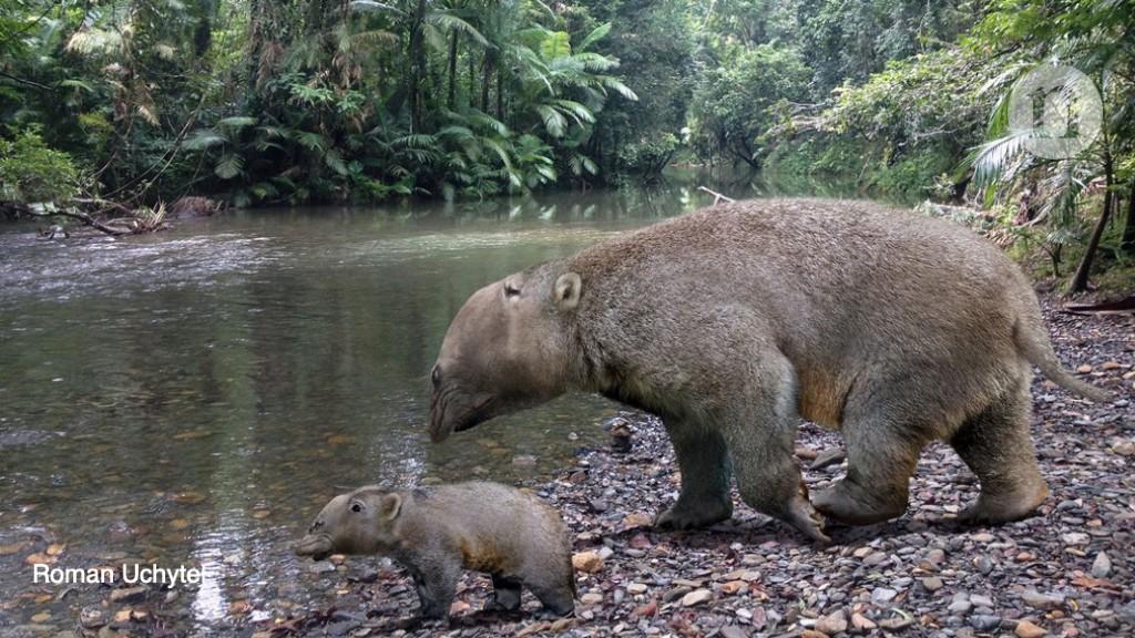 Fossils reveal a gigantic marsupial's bizarre anatomy