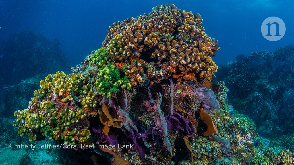 Coral-tracking satellites monitor reef bleaching in near-real time