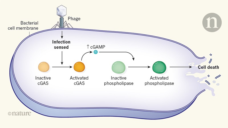 Bacterial twist to an antiviral defence