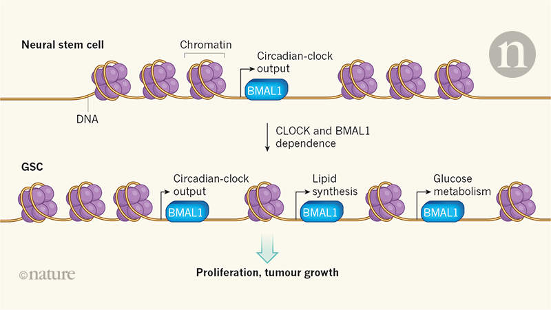 Alterations to the circadian clock make brain tumours vulnerable
