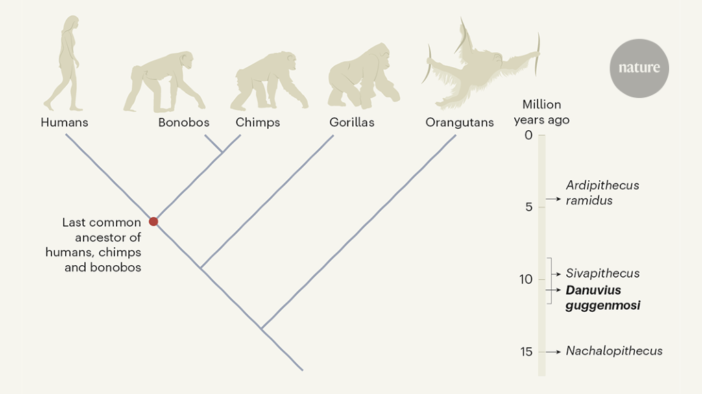 Fossil ape hints at how walking on two feet evolved