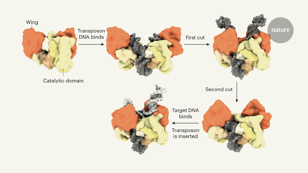 Snapshots of a genetic cut-and-paste