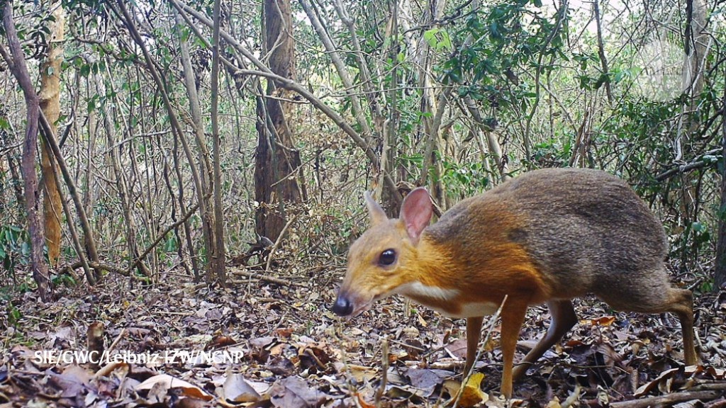 Elusive Vietnamese animal 'rediscovered'