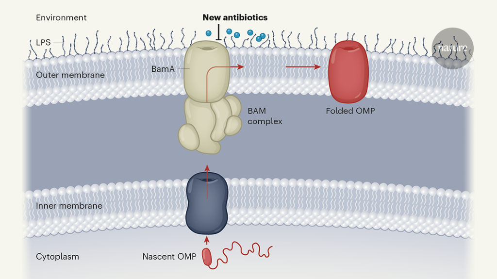 New antibiotics target the outer membrane of bacteria
