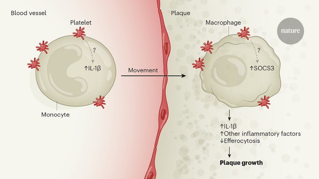 Platelets have a dangerous hold over immune cells in cardiovascular disease