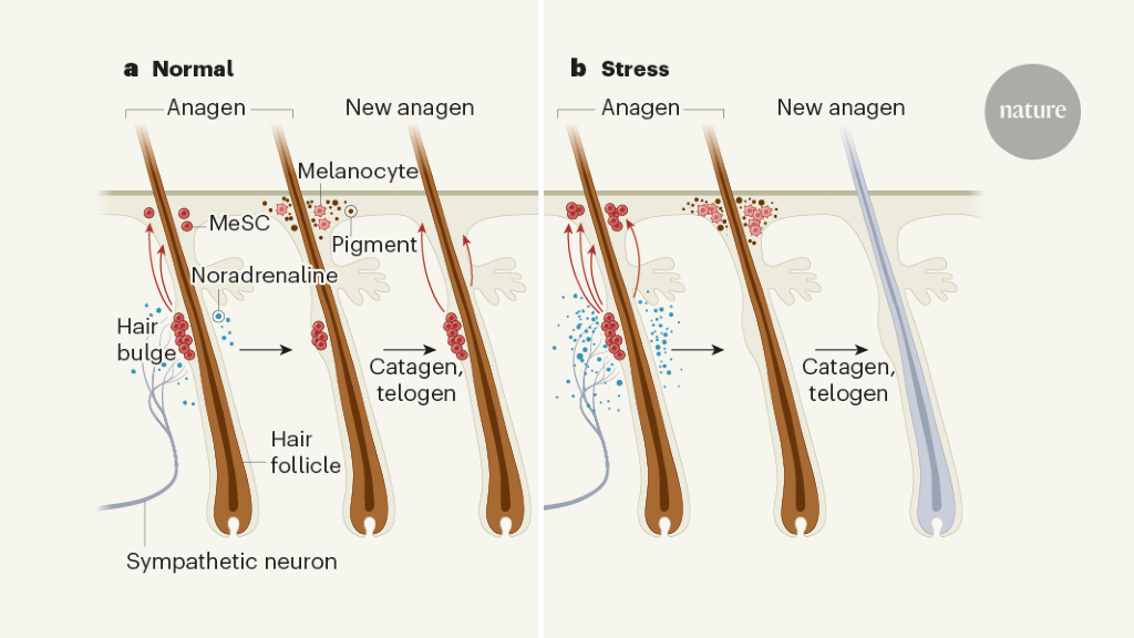 How the stress of fight or flight turns hair white