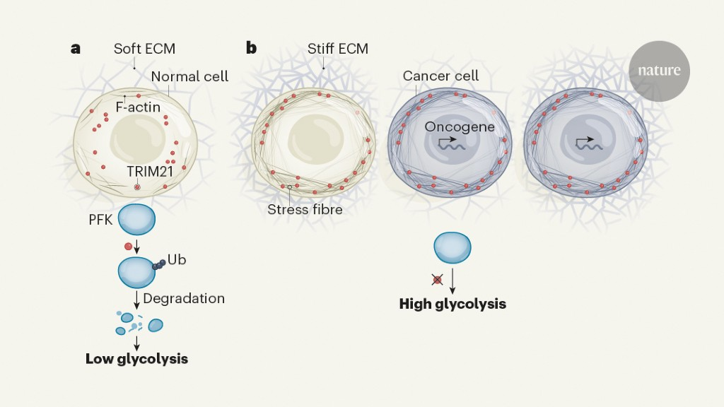 Tension in tumour cells keeps metabolism high