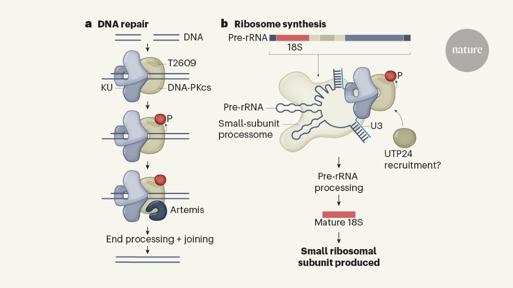 DNA-repair enzyme turns to translation