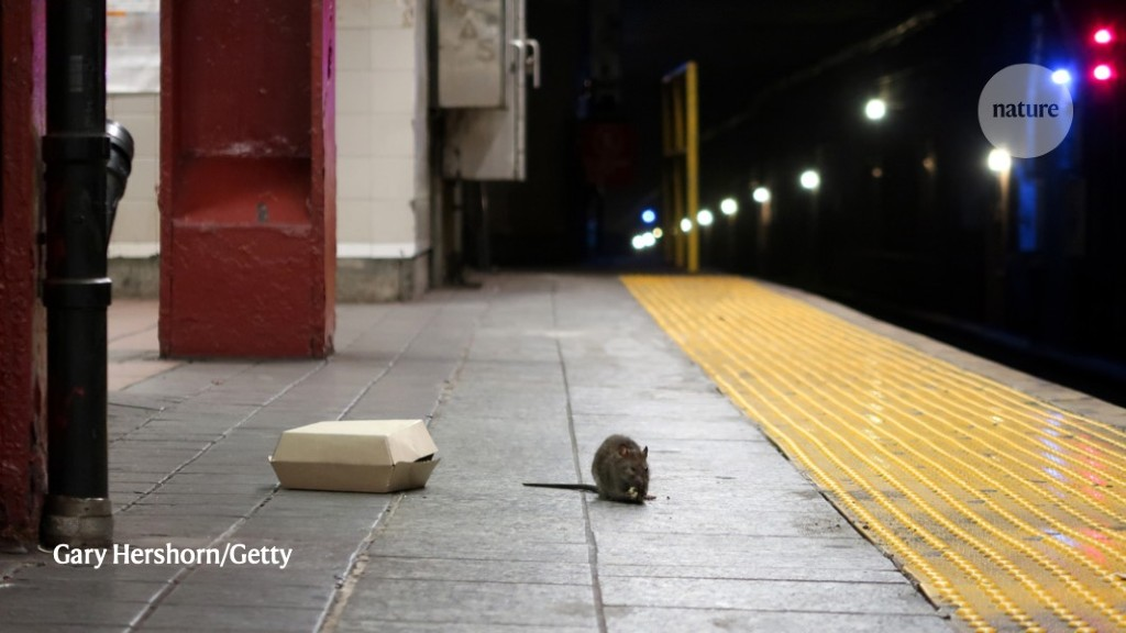 Rats are New Yorkers, too! Genome study reveals how rodents conquered the Big Apple - Nature.com