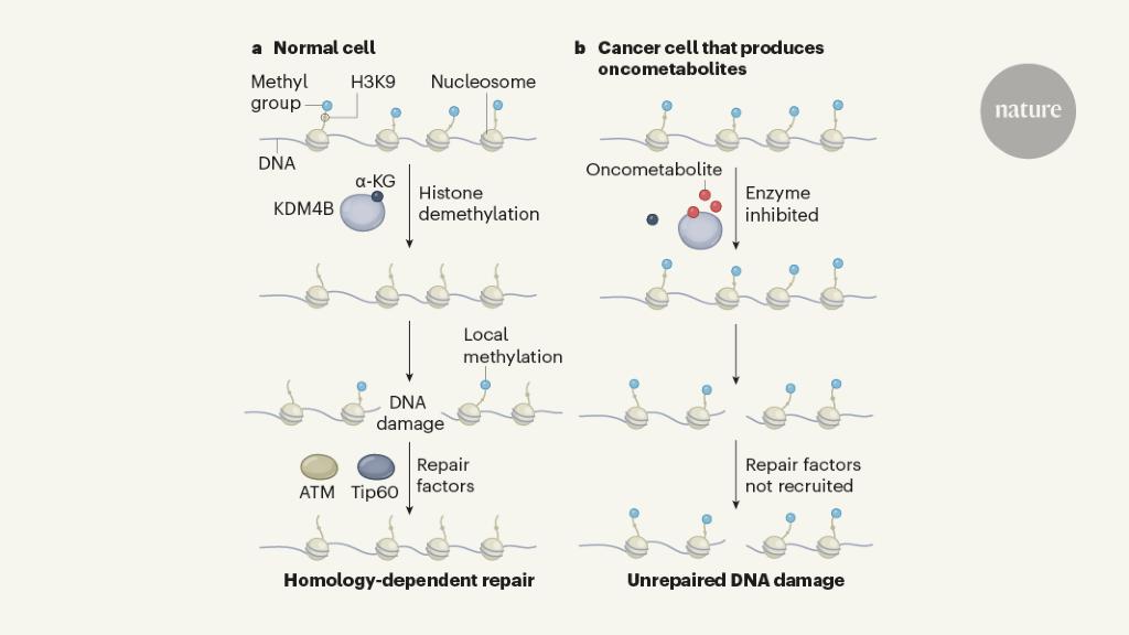 Tumour metabolites hinder DNA repair