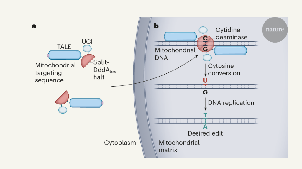 Mitochondrial genome editing gets precise