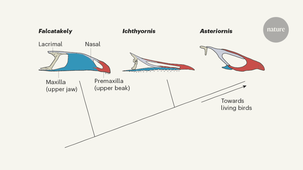 The changing face of birds from the age of the dinosaurs - Nature.com