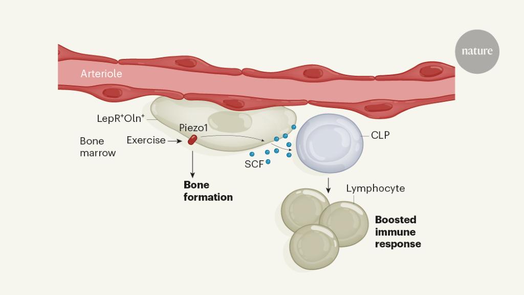 Exercise generates immune cells in bone - Nature.com