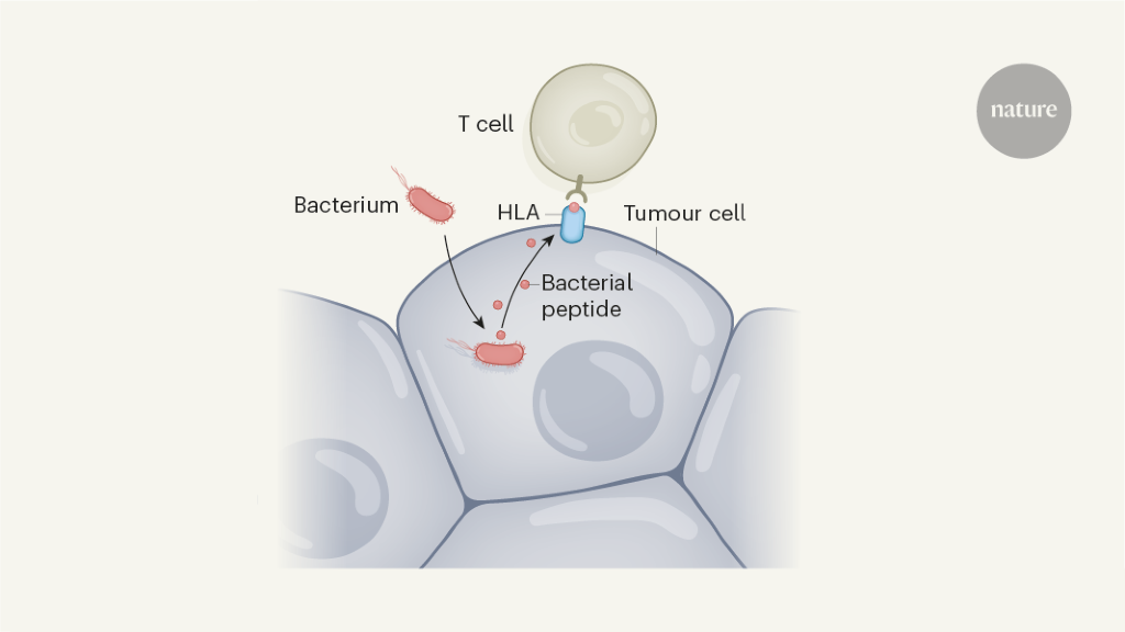 Bacterial peptides presented on tumour cells could be immunotherapy targets