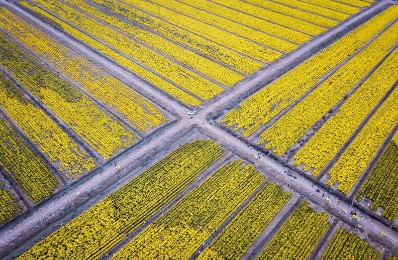 A chrysanthemum plantation in China