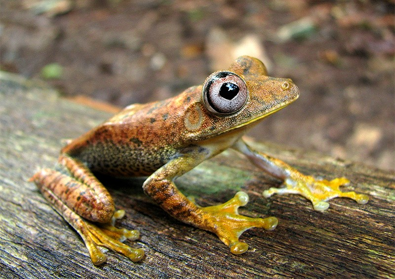 Hypsiboas frog in Yaguas National Park