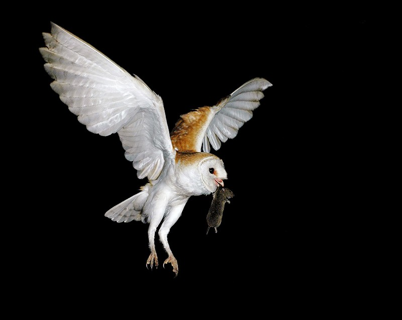 A barn owl with vole.
