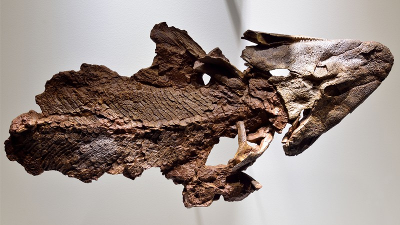 Fossil of lobe-finned fish Tiktaalik.
